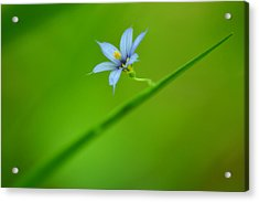 Acrylic Print featuring the photograph Blue-eyed Grass by JD Grimes