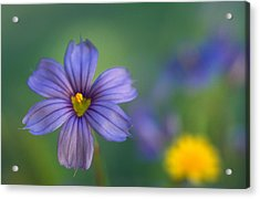 Blue Eyed Grass Acrylic Print by Kathy Yates