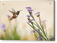 Blue-eyed Grass Wildflowers And Rufous Hummingbird Acrylic Print