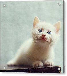 Blue Eyed White Coated Kitten Acrylic Print by Nga Nguyen