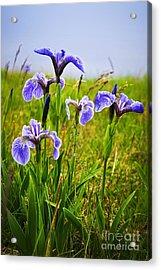 Blue Flag Iris Flowers Acrylic Print by Elena Elisseeva