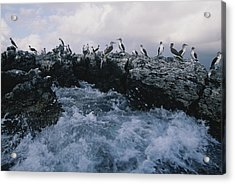 Blue-footed Boobies On A Rocky Acrylic Print by Annie Griffiths