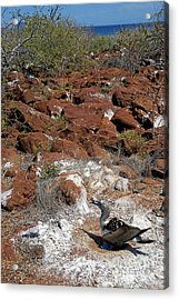 Blue-footed Booby And Rocks Acrylic Print by Sami Sarkis