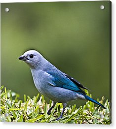 Blue-grey-tanager Acrylic Print by Heiko Koehrer-Wagner