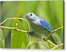 Blue-grey Tanager Acrylic Print