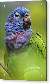 Blue-headed Parrot Pionus Menstruus Acrylic Print by Ingo Arndt