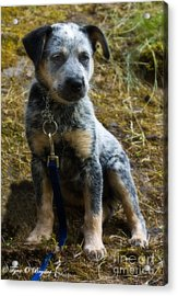 Blue Heeler Pup Acrylic Print by Tyra  OBryant