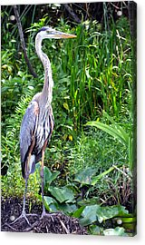Acrylic Print featuring the photograph Blue Heron At The Everglades by Pravine Chester