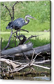 Blue Heron At The Lake Acrylic Print