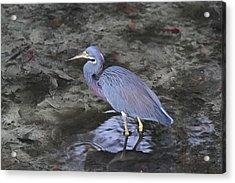 Blue Heron In Estero Bay Acrylic Print by Juergen Roth