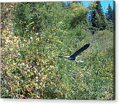 Blue Heron In Flight  Acrylic Print by The Kepharts