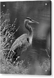 Blue Heron Observing Pond - 51006955m  Acrylic Print by Paul Lyndon Phillips