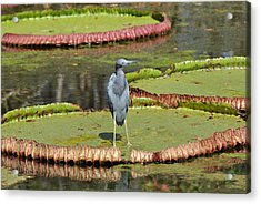 Acrylic Print featuring the photograph Blue Heron On Giant Lilly Pad by Jodi Terracina