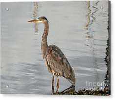Blue Heron Wading Acrylic Print