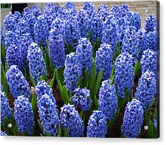 Blue Hyacinth Acrylic Print by Larry Krussel