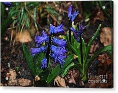 Blue Hyacinth Acrylic Print by Mark McReynolds