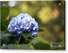 Acrylic Print featuring the photograph Blue Hydrangea by Denise Pohl