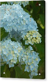 Acrylic Print featuring the photograph Blue Hydrangeas by Peg Toliver