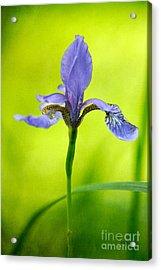 Blue Japanese Iris Acrylic Print by Lois Bryan