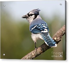 Acrylic Print featuring the photograph Blue Jay by Art Whitton