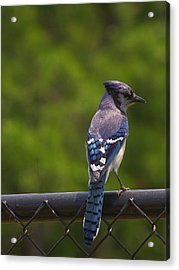 Blue Jay Acrylic Print by Billy  Griffis Jr