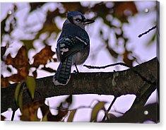 Blue Jay Acrylic Print by Joe Faherty