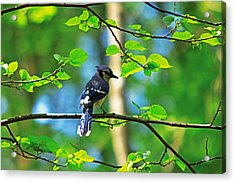 Acrylic Print featuring the photograph Blue Jay by Josef Pittner