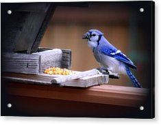 Acrylic Print featuring the photograph Blue Jay On Backyard Feeder by Kay Novy