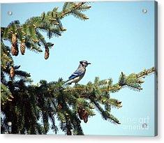 Blue Jay Acrylic Print by Ronald Tseng