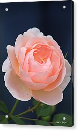Blue Jeans Rose Acrylic Print by Amy Gallagher