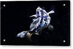 Blue Koi Surfacing Acrylic Print by Don Mann