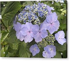 Blue Lacecap Hydrangea Acrylic Print by Kate Gallagher