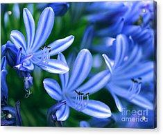 Blue Lily Of The Nile Acrylic Print by Sabrina L Ryan