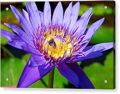 Blue Lotus And Honey Bee Acrylic Print by Luis Esteves