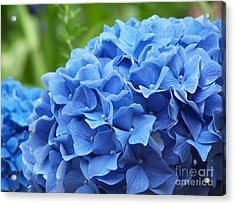Blue Madeira Hydrangea Acrylic Print by Patricia Land