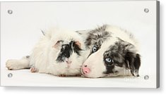 Blue Merle Border Collie With Guinea Pig Acrylic Print by Mark Taylor