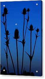 Blue Moon Thistle Acrylic Print