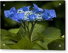 Blue Morning Acrylic Print by Elsa Marie Santoro