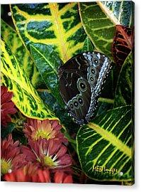 Blue Morpho Butterfly Acrylic Print by Margaret Buchanan