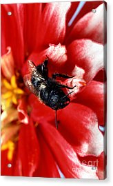 Blue Orchard Bee Acrylic Print by Science Source