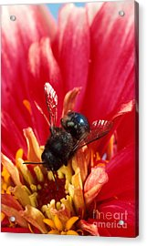 Blue Orchard Bee Acrylic Print by Scott Bauer
