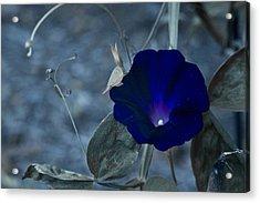 Blue Petunia 2 Acrylic Print