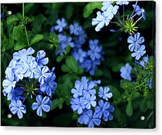 Blue Plumbago Acrylic Print by Barbara Middleton