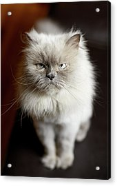 Blue Point Himalayan Cat Looking Irritated Acrylic Print by Matt Carr