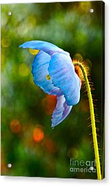 Blue Poppy Dreams Acrylic Print by Byron Varvarigos