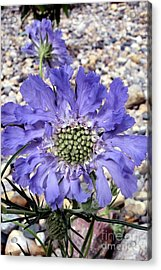 Acrylic Print featuring the painting Blue Scabiosa by Susan Fisher
