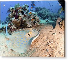 Blue-spotted Stingray Acrylic Print by Photostock-israel