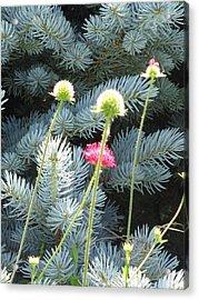Blue Spruce And A Wish Acrylic Print by Shawn Hughes