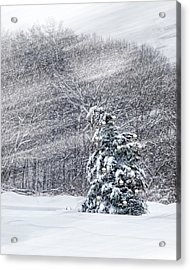 Acrylic Print featuring the photograph Blue Spruce by Robin-Lee Vieira