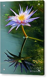Acrylic Print featuring the photograph Blue Stargazer Lily by Larry Nieland